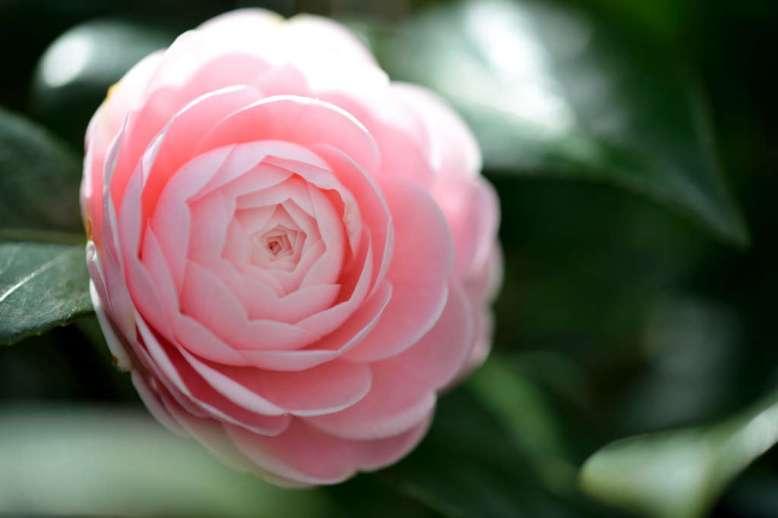 Manfaat Bunga camellia untuk rambut